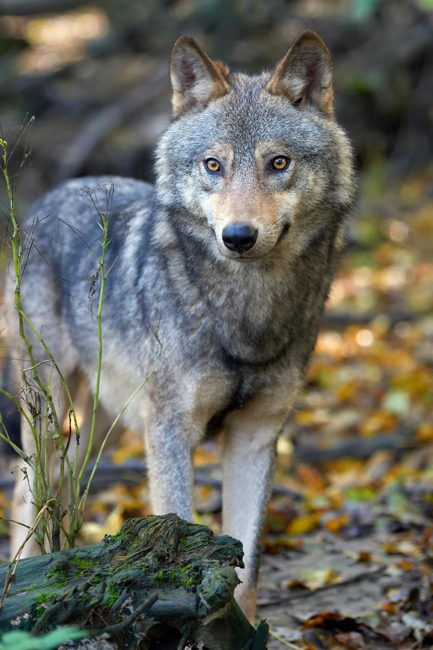 Wurmt den Hund die Anwesenheit des Wolfes?