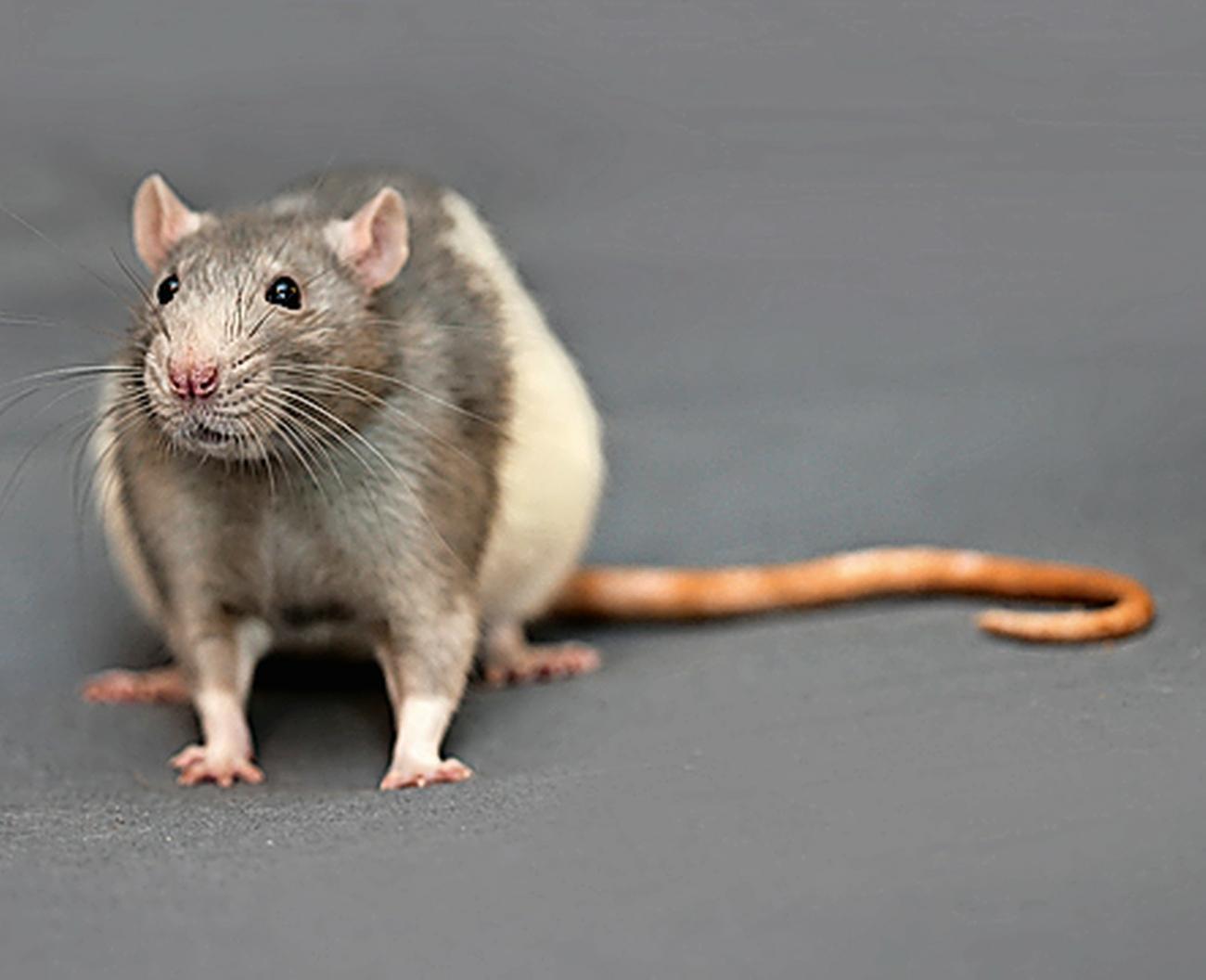 Von Ratten übertragen
